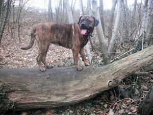 Uninsurable Dog Breed List